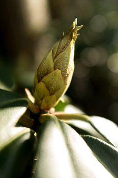 Botanische Fotografie einer Blütenknospe, des Rhododendrons. von Karijn | Fine art Natuur en Reis Fotografie