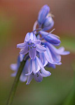 Blauwe Boshyacint van Marga Vroom