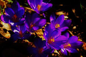 Paarse krokussen in zonlicht tussen herfstbladeren van Breezy Photography and Design