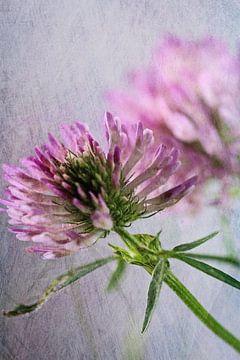 Kleeblüte mit Texture van