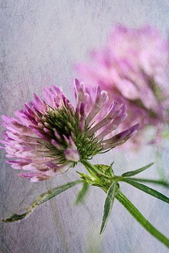 Kleeblüte mit Texture