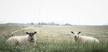 Schafe in Bierum II von Luis Fernando Valdés Villarreal Boullosa