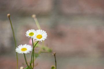 Eenzaam madeliefje bloem van Dorota Talady