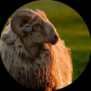 Een koninklijk portret van een schaap, tijdens zonsondergang van Jozef Gyant