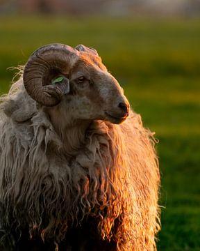 Un portrait royal d'un mouton, au coucher du soleil. sur Jozef Gyant