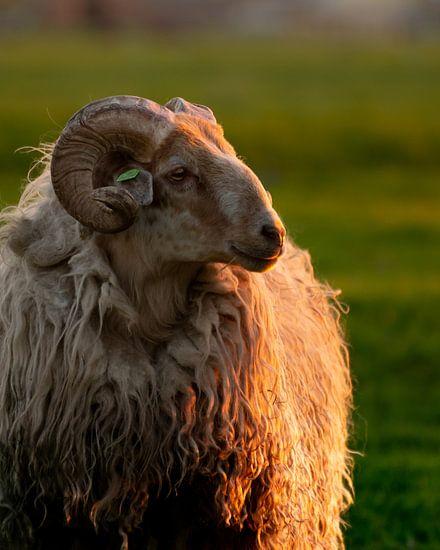 Een koninklijk portret van een schaap, tijdens zonsondergang