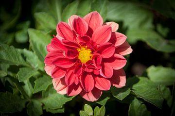 Roze bloem van Anita van Hengel