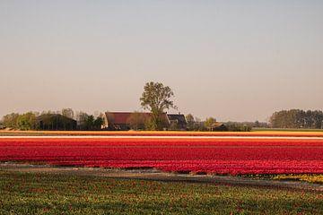 Tulpen van Kyra Hoekema