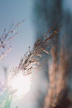Blühendes Gras in der Morgensonne von Robin van Steen