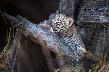 Leopardenjunges mit blauen Augen von Jos van Bommel