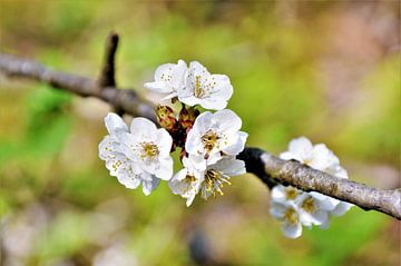 Kersenbloesem in de Lente van DoDiLa Foto's