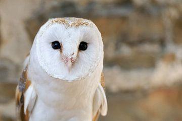 Kerkuil ( Tyto alba ) in de muren van een oud kasteel, Europa. van wunderbare Erde