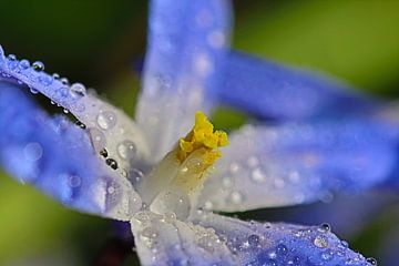 Scilla siberica - Blausternchen im Morgentau 3 von Simone Marsig