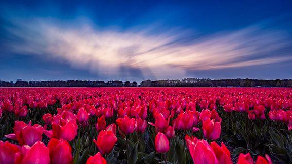 Tulipfield van Michael van der Burg