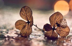 macro: gedroogde hortensiabloem in waterdruppels van Natascha IPenD