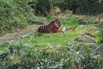 Sumatraanse tijgers : Diergaarde Blijdorp van Loek Lobel