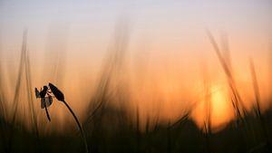 Bandheidelibel bij zonsopkomst