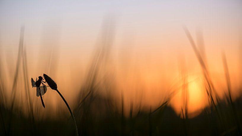 Bandheidelibel bei Sonnenaufgang von Erik Veldkamp