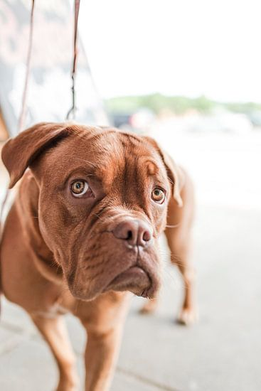 boxer in close-up