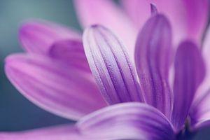 Paarse bloemblaadjes.