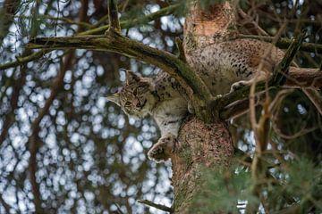 Eurasischer Luchs ( Lynx lynx ) ruht hoch oben in einem Baum, schaut herab, perfekt getarnt, Europa. von wunderbare Erde