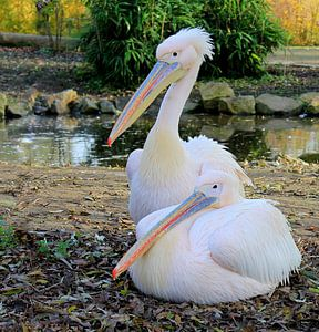 Pelikanen. von Jose Lok