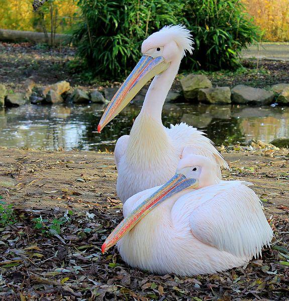 Pelikanen. van Jose Lok