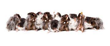 Hamsters van Joke Beers-Blom
