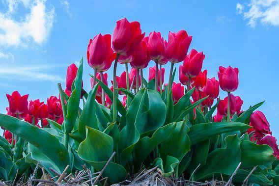 Red Tulips van  Martyn Buter