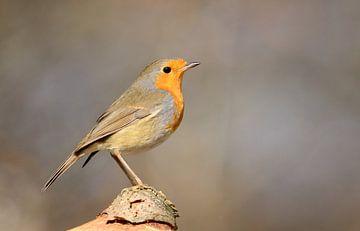 Roodborst - Red robin van Ruud Scherpenisse