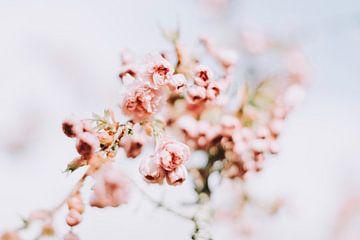 Photographie de haute qualité de la fleur rose du printemps sur Coby Zwartbol