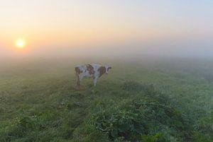 Koe in mistige polder van