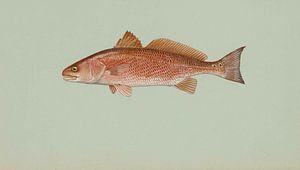 Sciaenops ocellatus (Red drum)