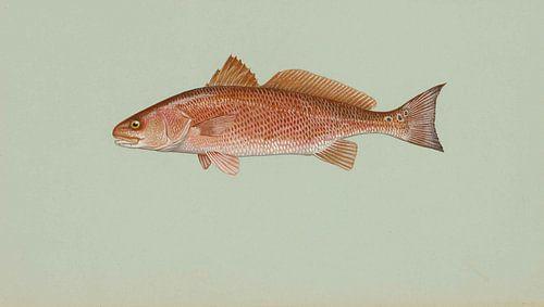 Red drum von Fish and Wildlife
