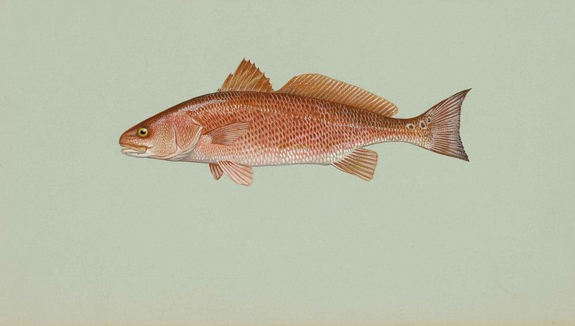 Sciaenops ocellatus (Red drum) van Fish and Wildlife