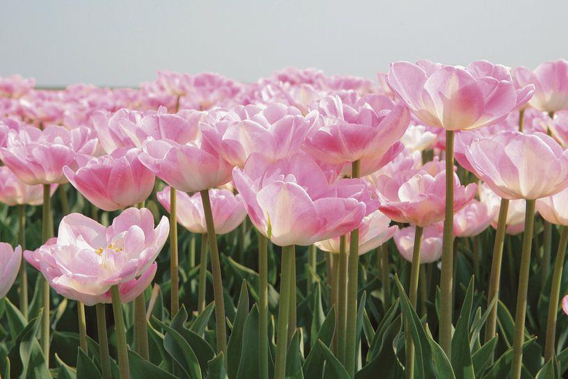 Tulpen veld van frans bouwmeester