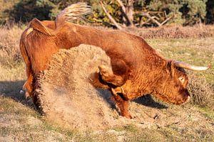 Raging Bull 2 van Jaap Tempelman