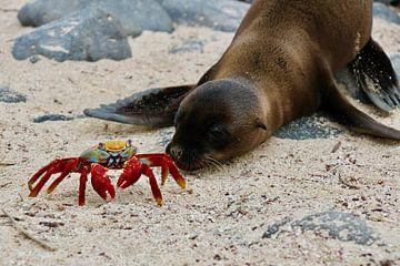 Seelöwe und Krabbe auf Galapagos Strand von Marieke Funke