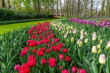 Multi Farbe Hyazinthe, rein rot, rosa weiße Farbe Tulpen von Digikhmer