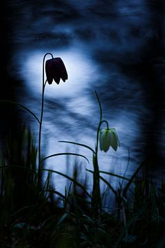 kievits bloem van Pim Leijen