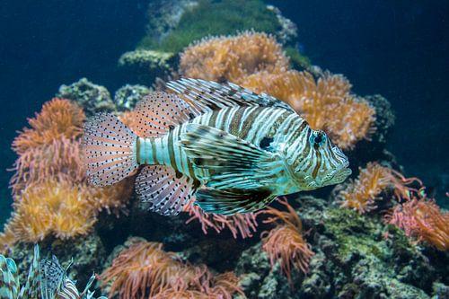 Prachtige Koraalduivel in een aquarium. van