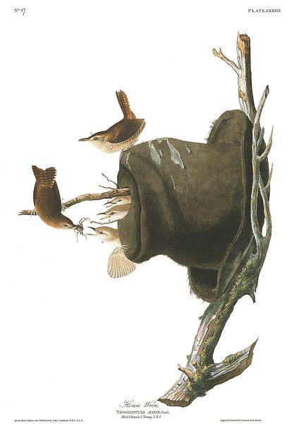 Noordelijke Huiswinterkoning van Birds of America