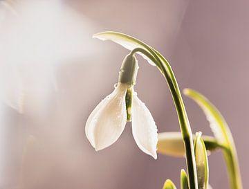 faisceau lumineux de perce-neige sur natascha verbij