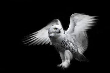 Eine rein weiße Polareule, die ihre Flügel in der Dunkelheit (Nachtdunkelheit), isoliert, aber vor e von Michael Semenov