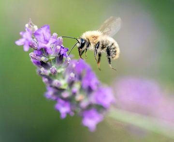 Biene mit Lavendel in Frankreich von Lindy Hageman