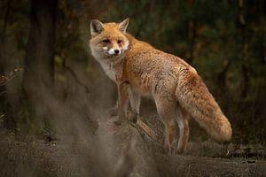Fuchs im Wald (Veluwe)