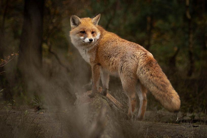 Fuchs im Wald (Veluwe) von Frans Roos
