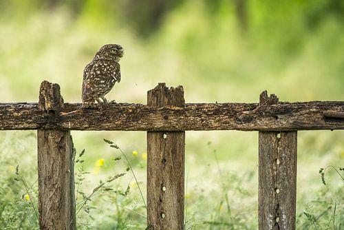 Steenuil op hek van