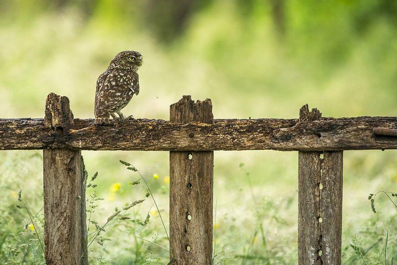 Steenuil op hek van Gonnie van de Schans