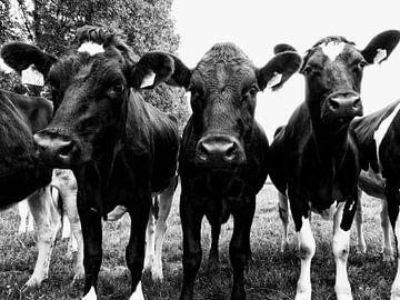 Nieuwsgierige koeien op een rij. van